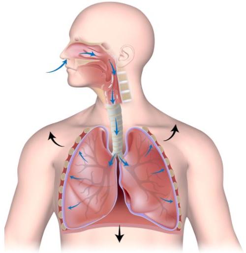 inspirazione polmonare